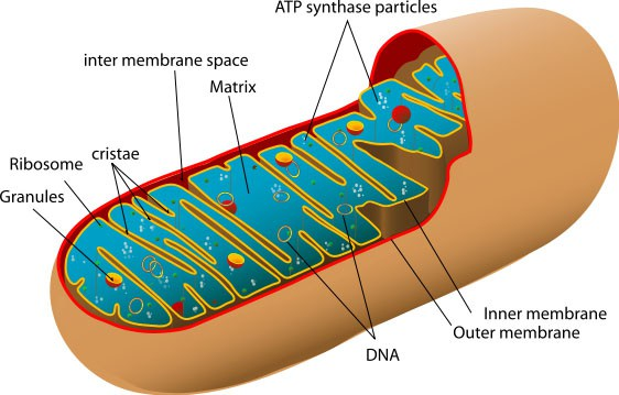 I Have A Mitochondrial Disease: Update On The Search For A Diagnosis